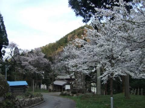 白鳥桜.jpg