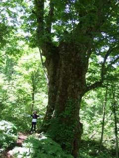大栃の木.jpg